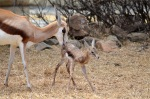 Springbuck lamb born in camp