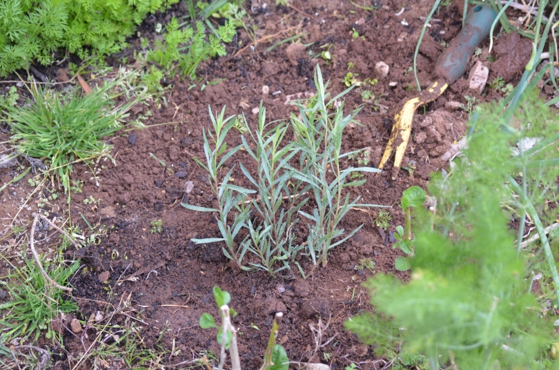 French Tarragon in my garden