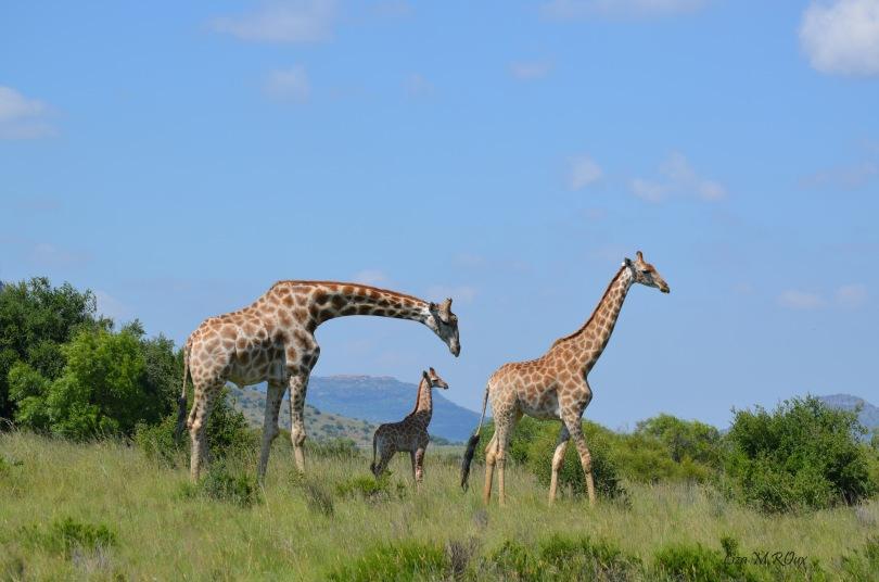 Giraffe on the farm