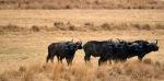 Some Buffalo Bulls