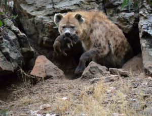 Spotted Hyena carrying cub