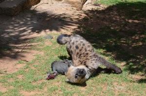 Crocuta with Guineafowl