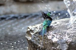 Malachite Sunbird Bath