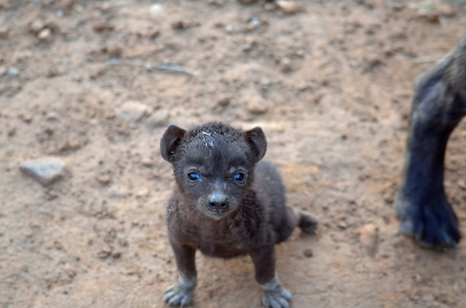 Crocuta Cub at Fence