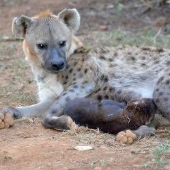 A little older cub nursing