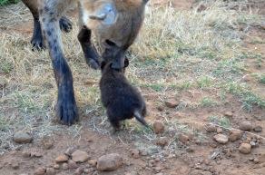 Crocuta picks up cub
