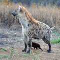 Crocuta with Cub to fence