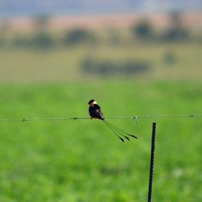 Shaft tailed Whydah