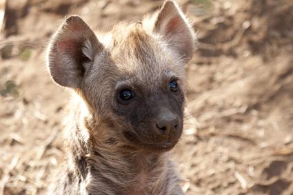 hyena cub cuteness