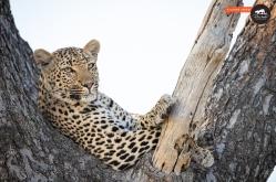 Leopard, Close-up