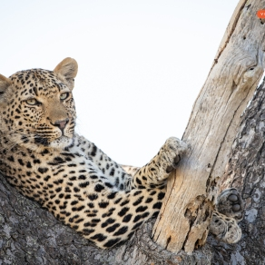 Leopard, Close-up