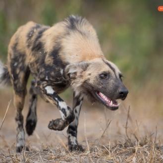 African Wilddog