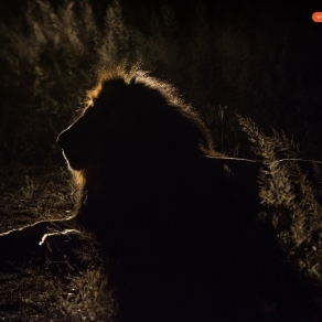 Lion with back light