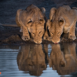 Lion Reflection
