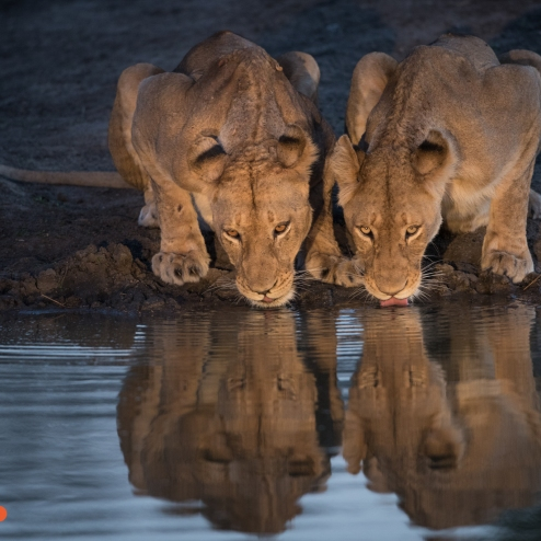 Lion Reflection