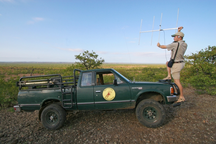 Using telemetry equipment to find collared animals