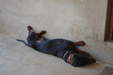 Chocolate the Dog, relaxing on the cold floor.